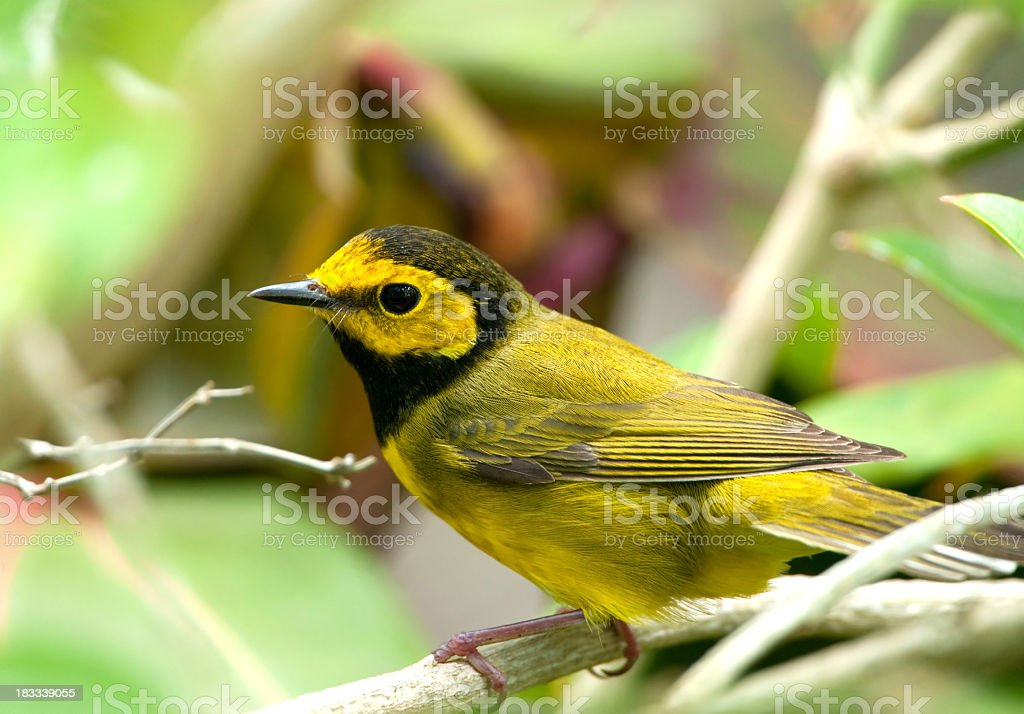 Hooded Warbler stock photo