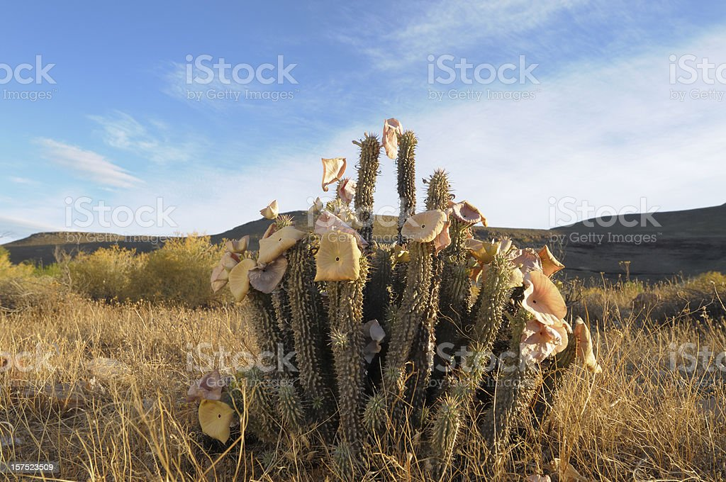 Hoodia plant in the wild landscape stock photo