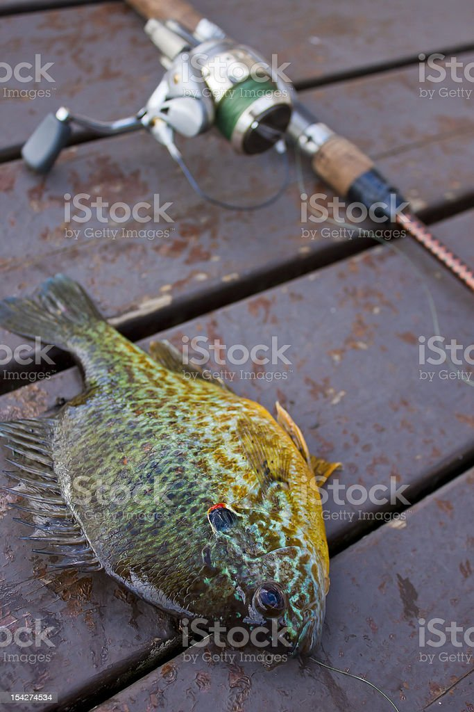 Hooked Bluegill on Dock royalty-free stock photo