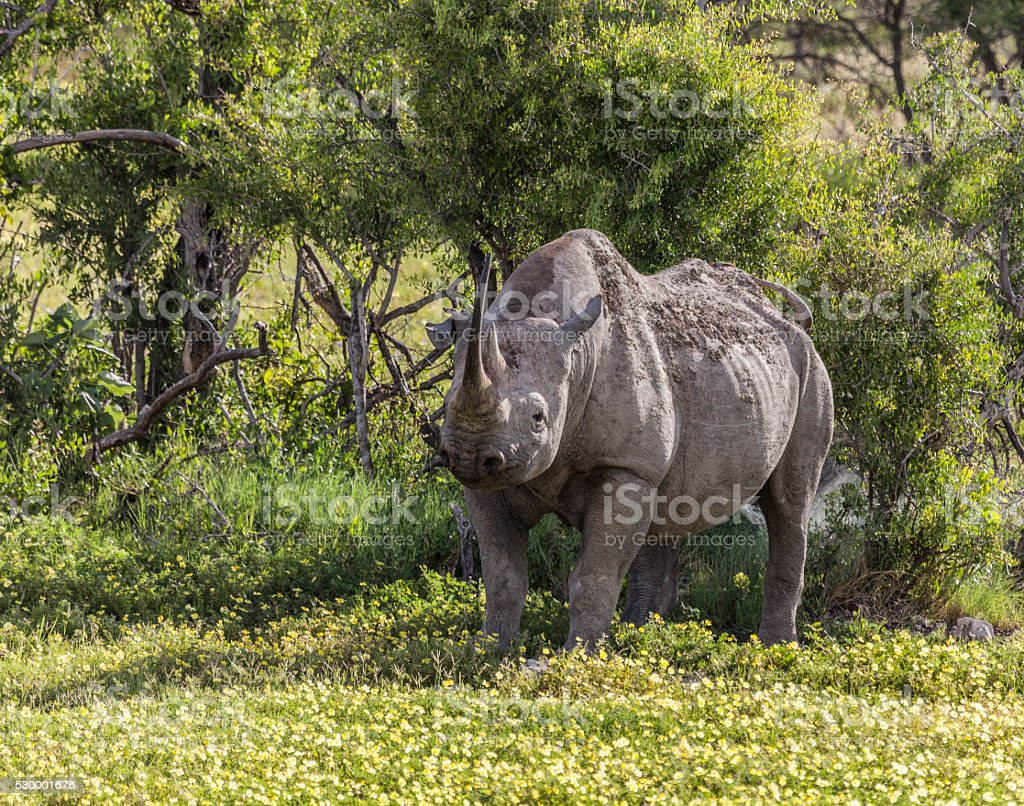 Hook-lipped / Black Rhino, urine-spraying bush; Etosha_N.P., Namibia, Africa stock photo