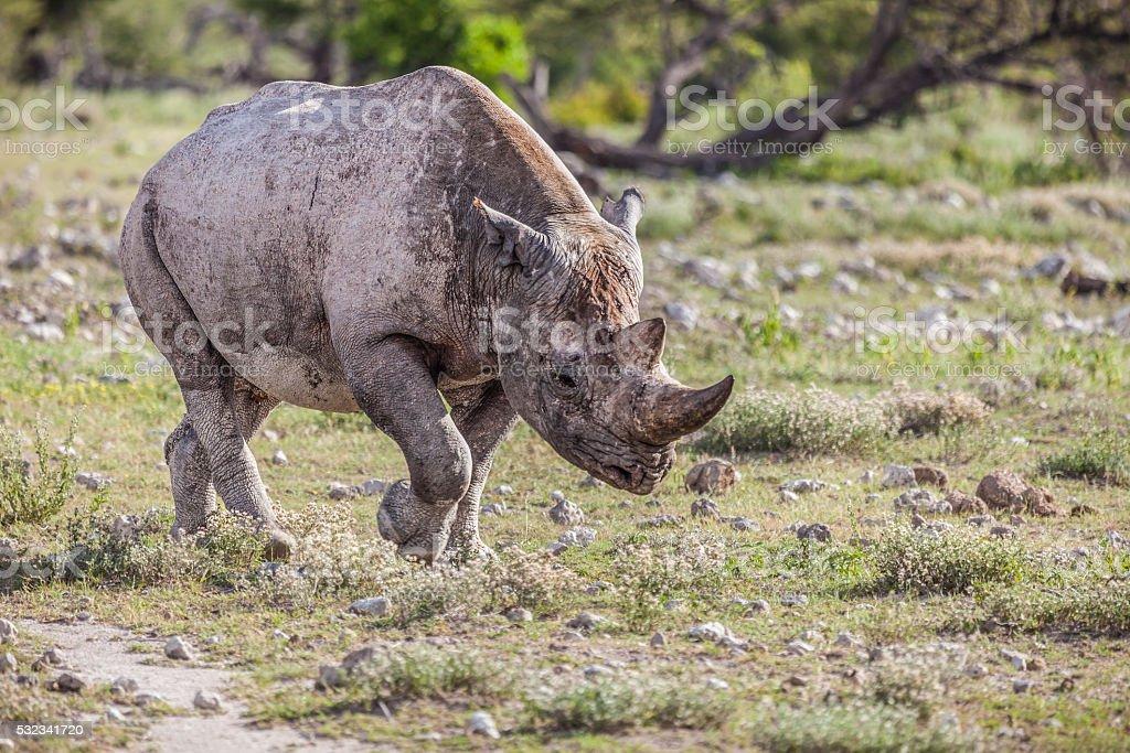 Hook-lipped Rhino / Black Rhinoceros, Diceros bicornis; Etosha N.P., Namibia, Africa stock photo