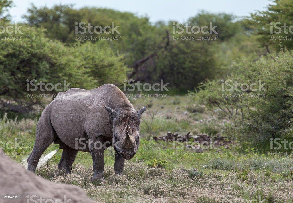 Hook-lipped Rhinoceros / Black Rhino, Diceros bicornis; urine-spraying in Etosha_N.P., Namibia stock photo