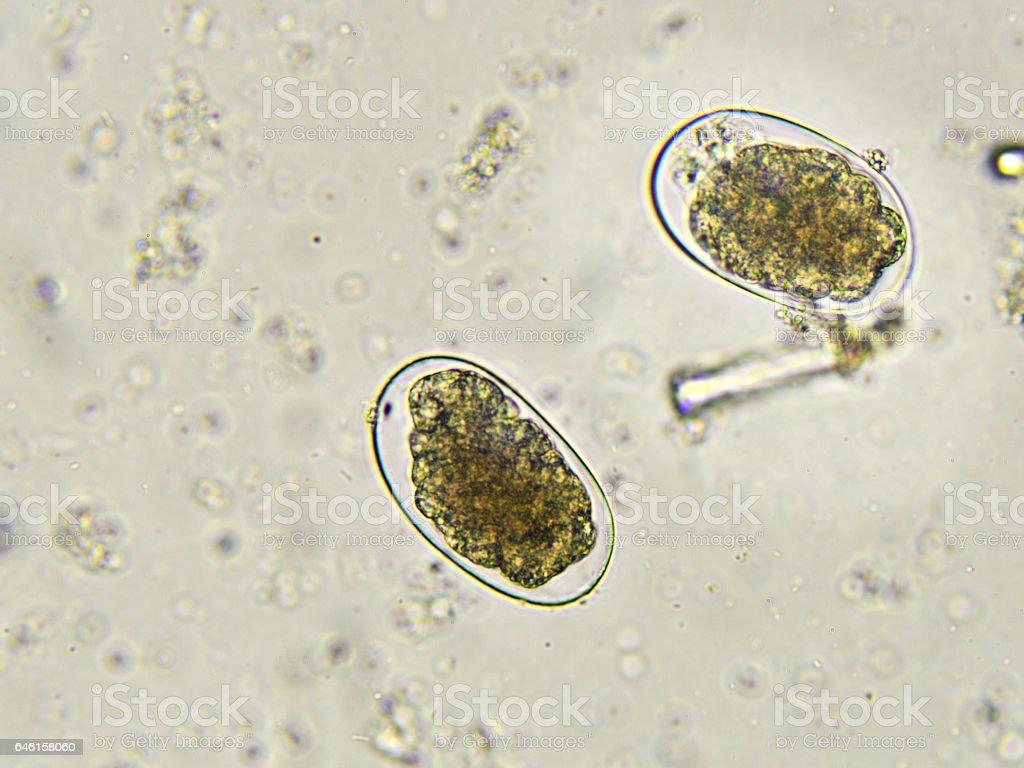 Hookworm (egg) stock photo