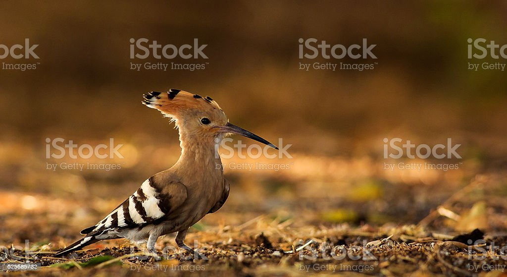 Hoopoe a colorful bird found across Afro-Eurasia stock photo