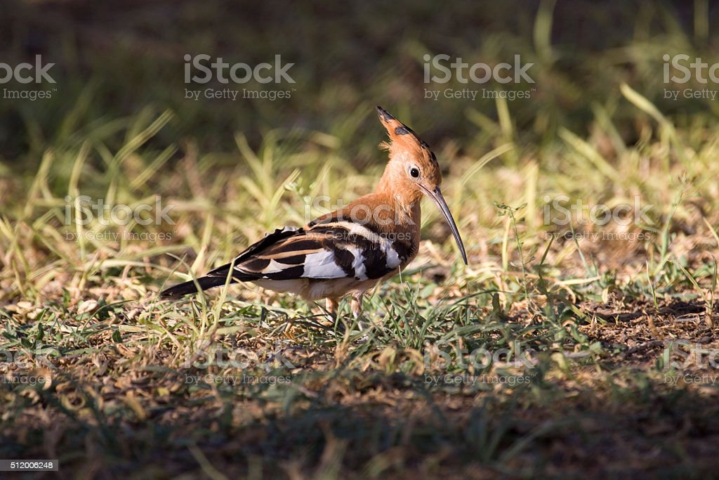 Hoopoe bird hunts for food Etosha National Park Namibia stock photo