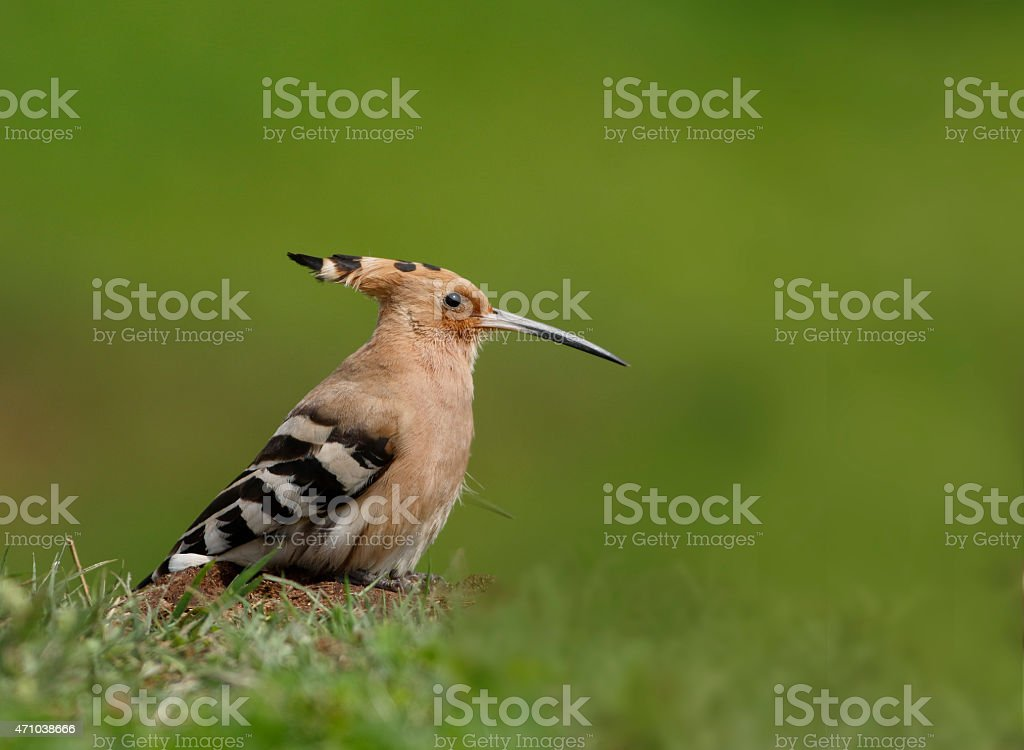 Hoopoe Bird on ground with green backdrop stock photo