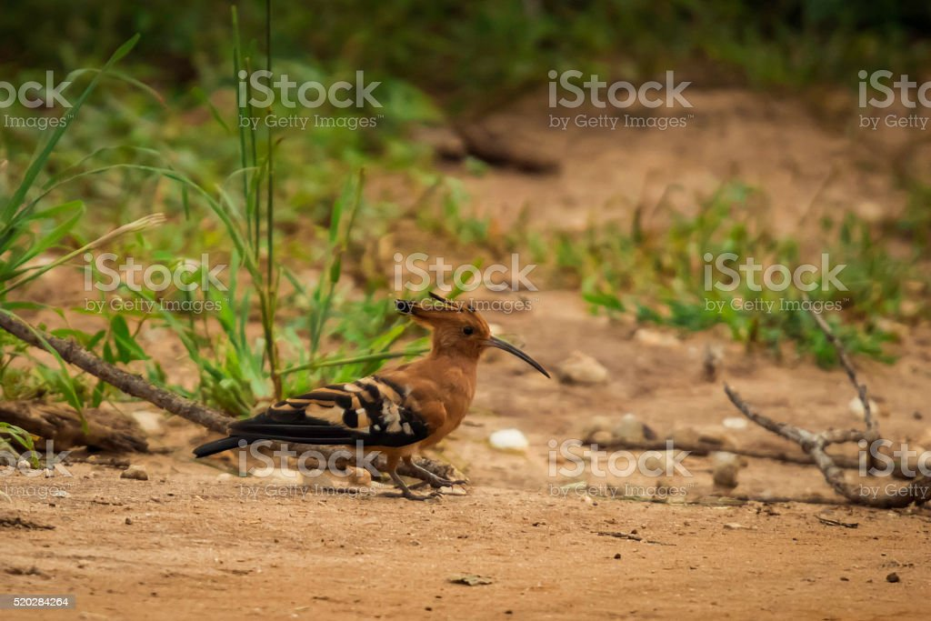 Hoopoe Bird stock photo