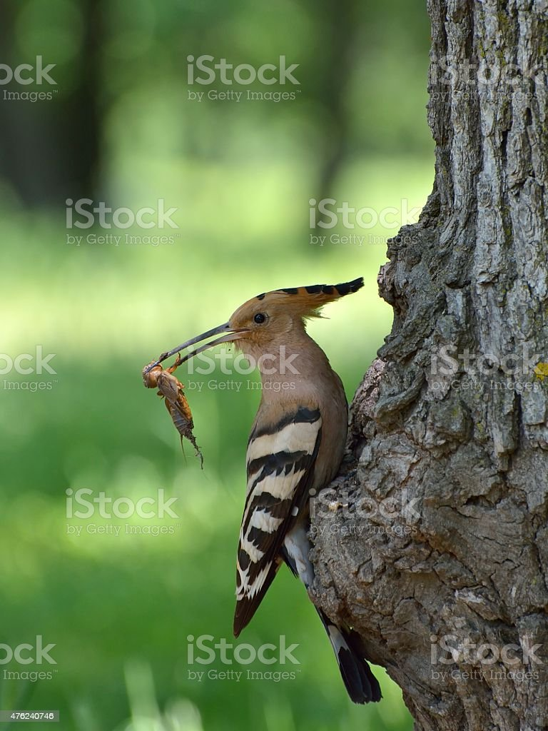 Hoopoe feeding her pair stock photo