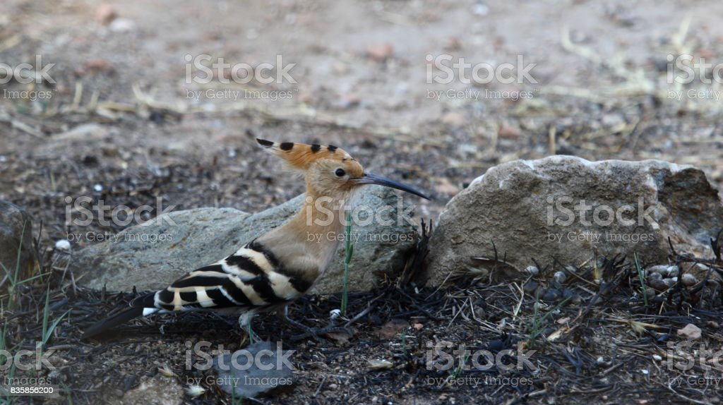 Hoopoe feeds stock photo