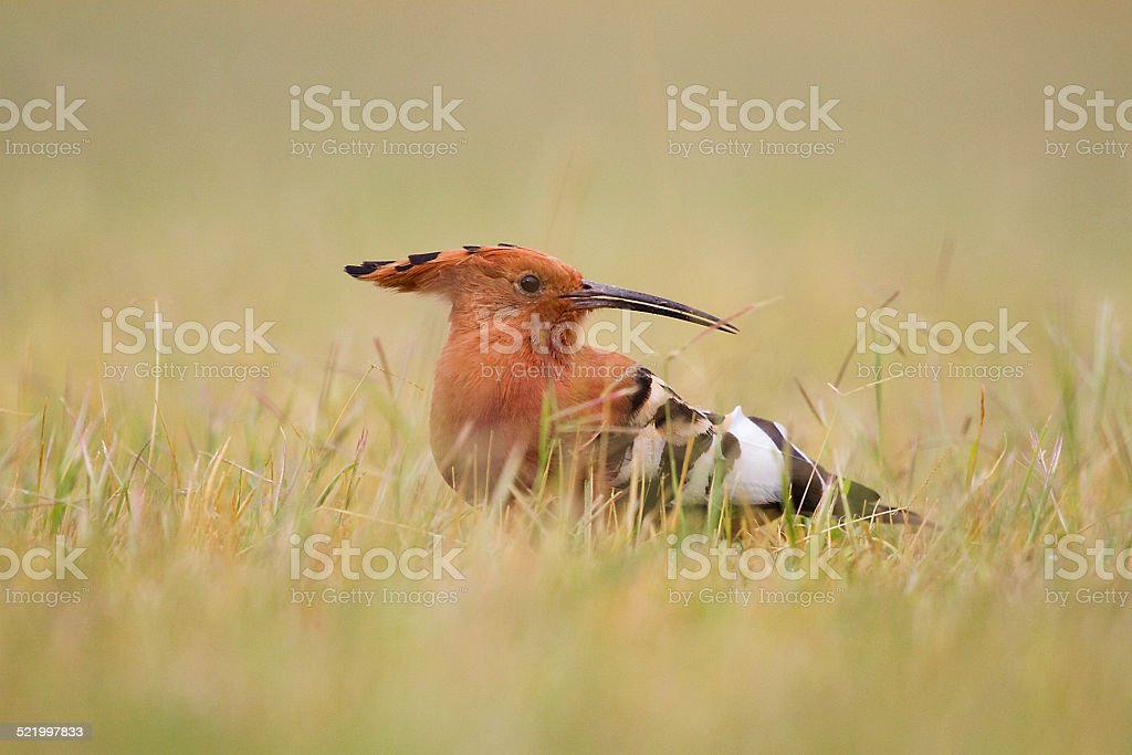 Hoopoe in Amboseli National Park, Kenya stock photo