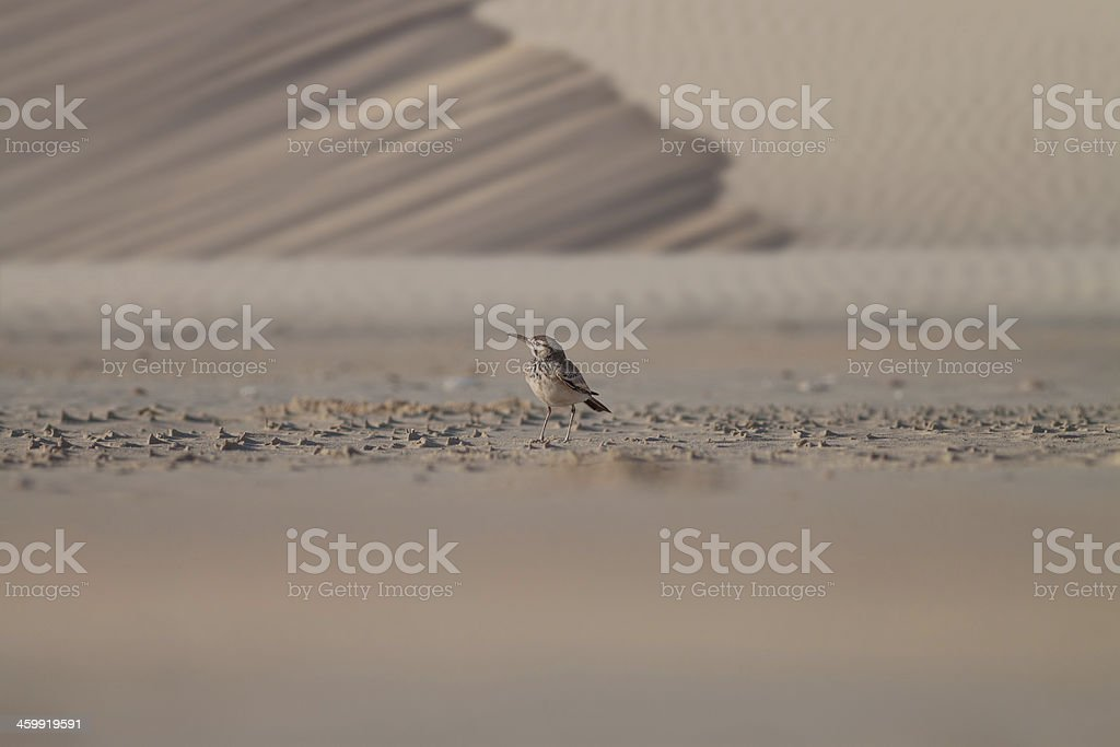 Hoopoe Lark stock photo