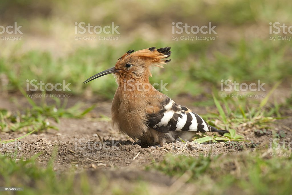 Hoopoe on the Grass stock photo