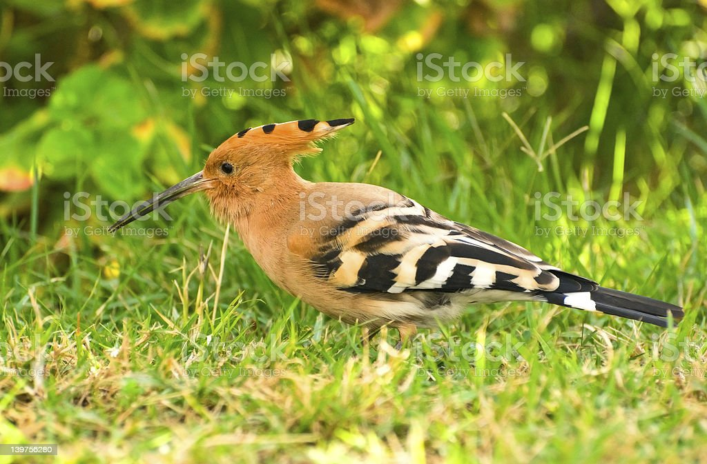 hoopoe stock photo
