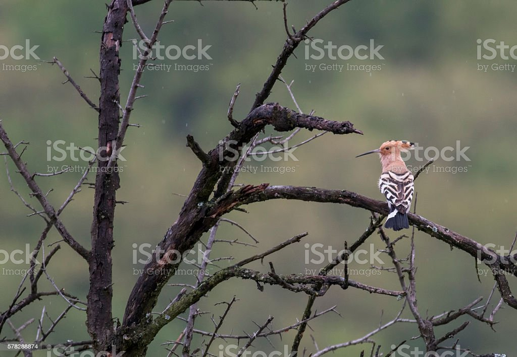 Hoopoe (Upupa epops) stock photo