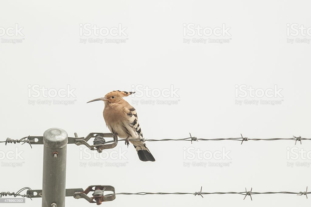 hoopoe series 01 stock photo