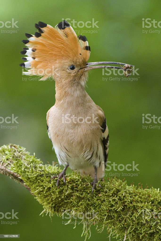 Hoopoe sitting on a branch with blurred green isolated background stock photo