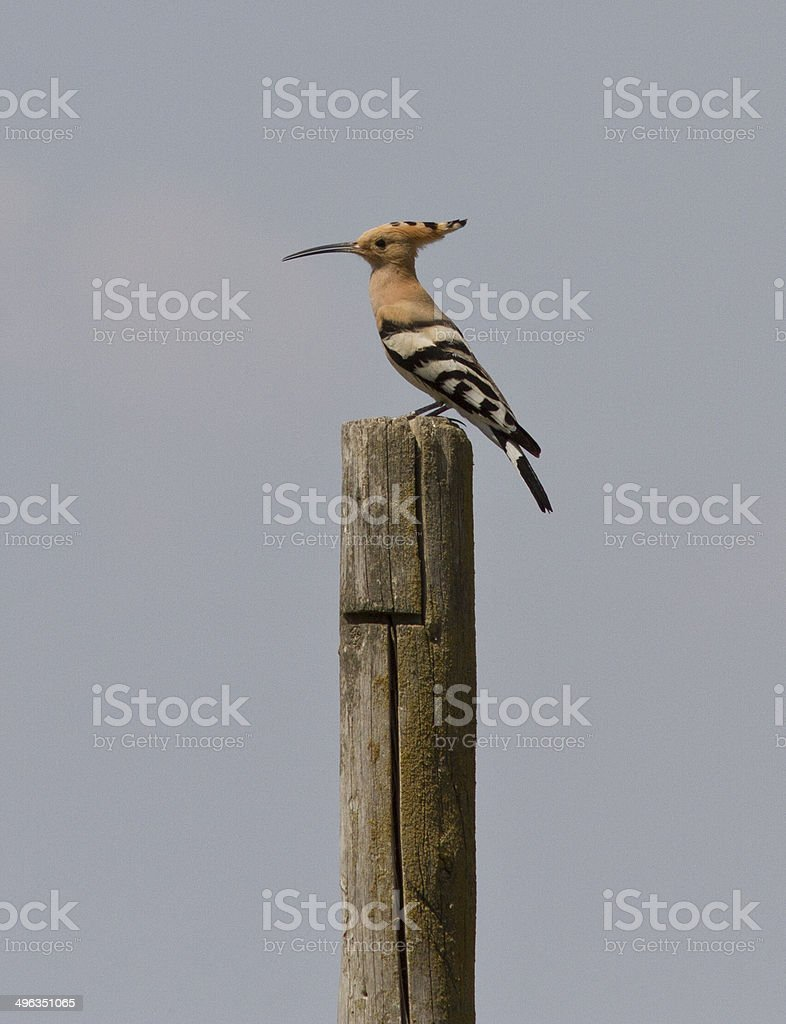 Hoopoe sitting on a pole in the steppe. stock photo
