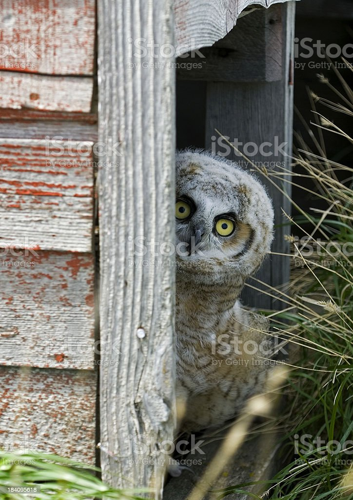 Hoo's There?? 3 royalty-free stock photo