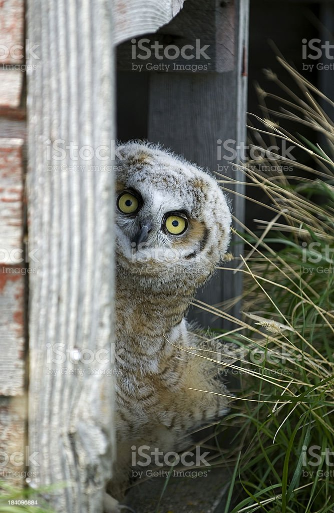 Hoo's There?? royalty-free stock photo