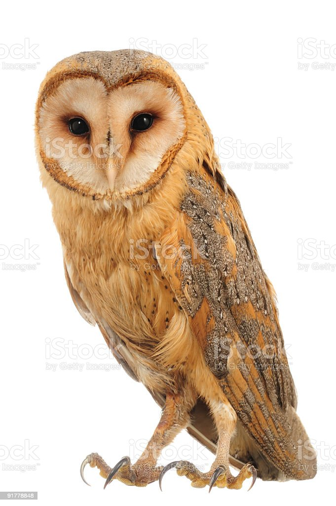 Hoot is what a barn owl says  stock photo