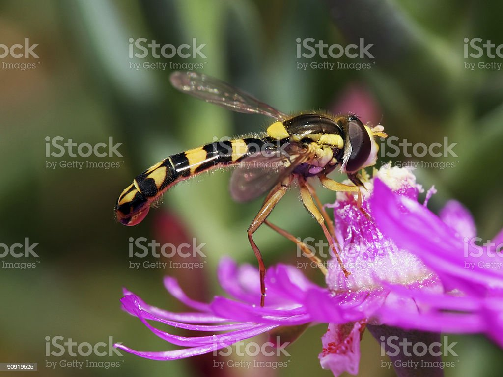 Hoover fly on flower 02 royalty-free stock photo