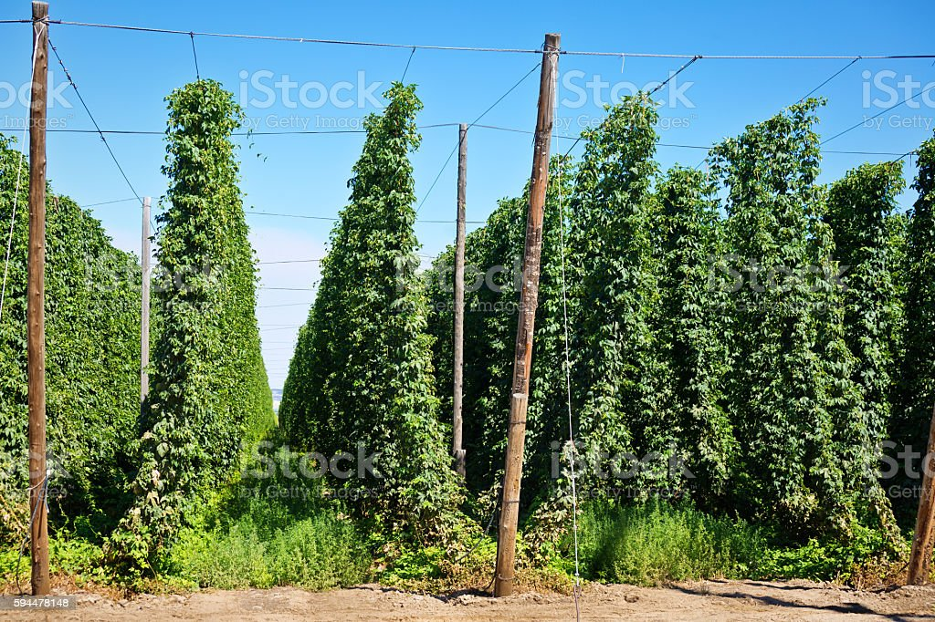 Hop Agricultural Field in Washington State USA stock photo