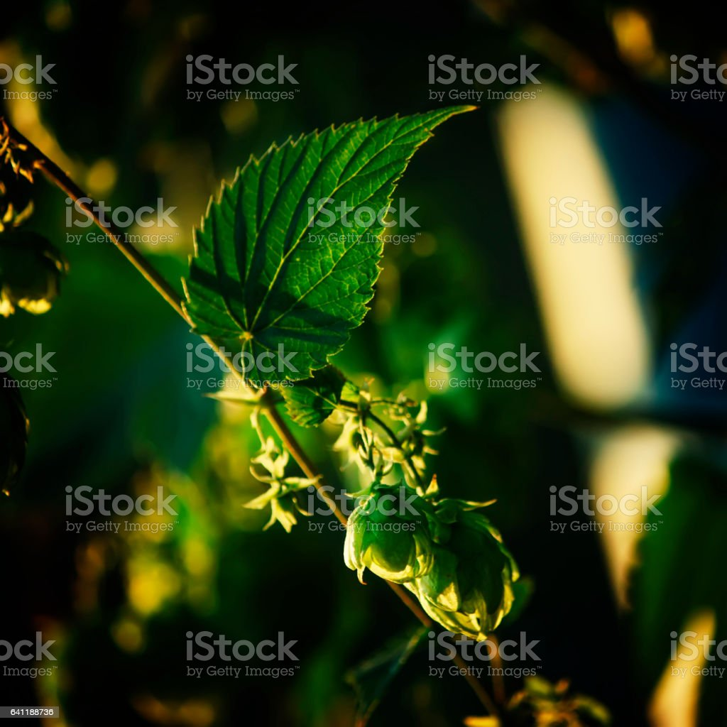 Hop cones, blurred image stock photo