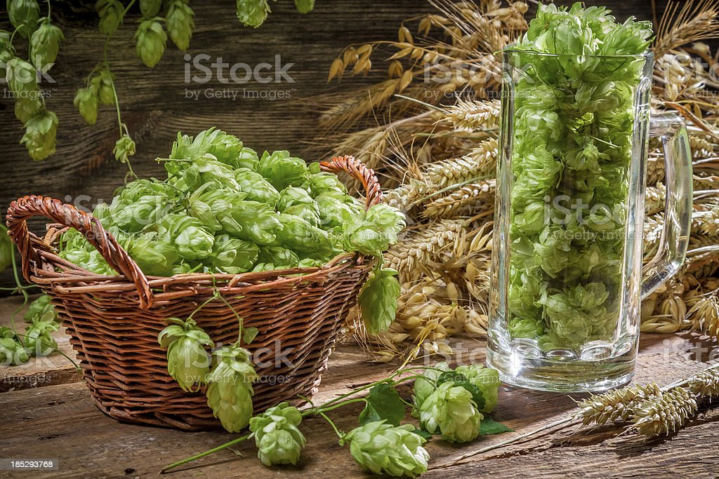 Hop cones collected in a wicker basket royalty-free stock photo