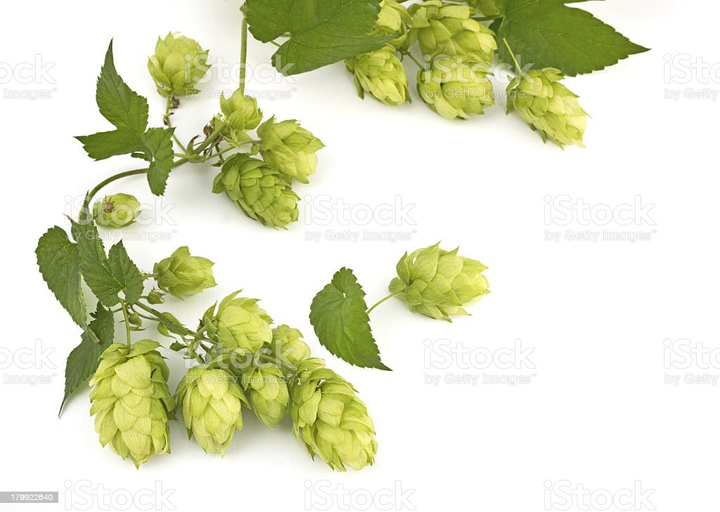 hop cones isolated royalty-free stock photo