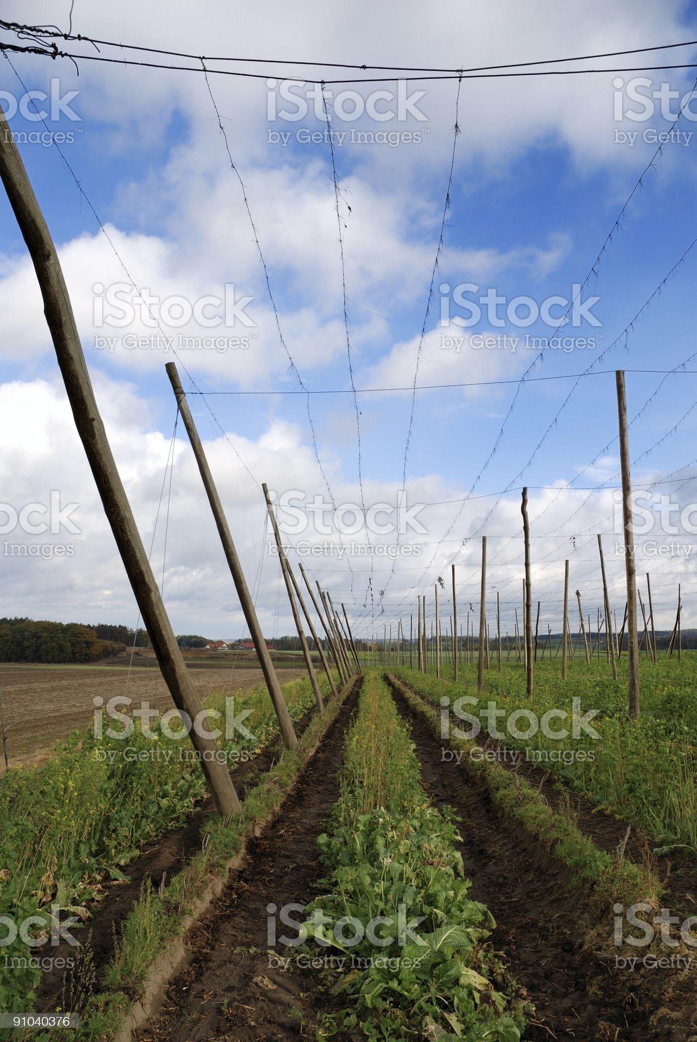 Hop field royalty-free stock photo