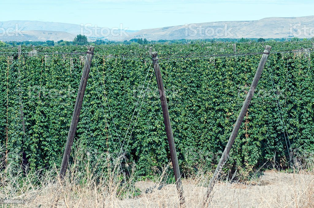Hop fields ready for harvest in Yakima Valley WA stock photo