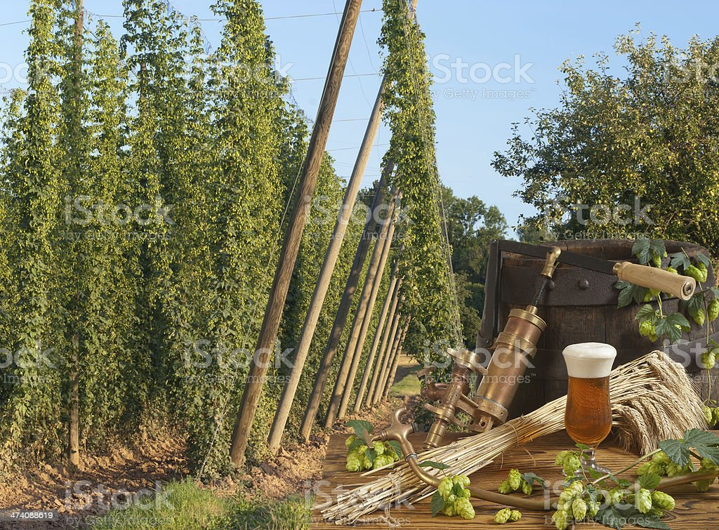 hop garden with beer royalty-free stock photo