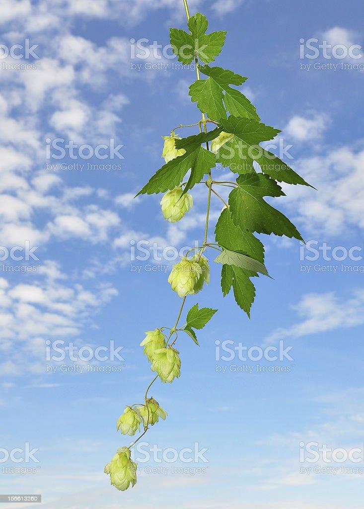 Hop (Humulus lupulus) royalty-free stock photo