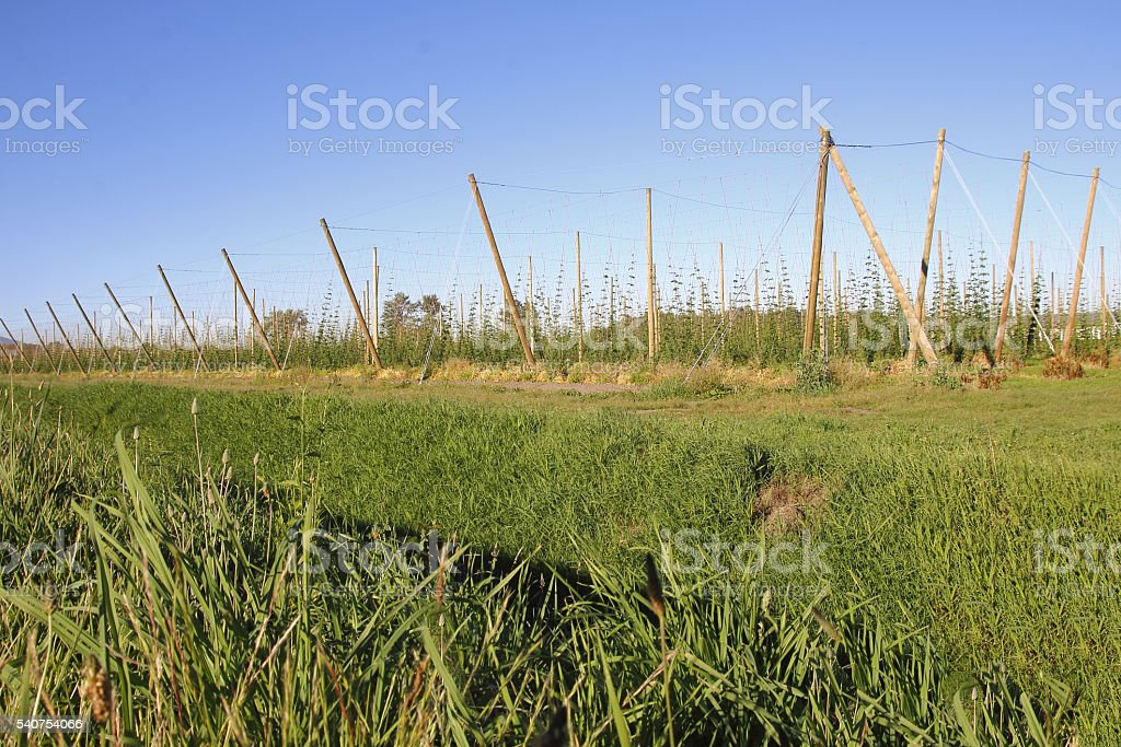 Hop Production in Its Early Stages stock photo