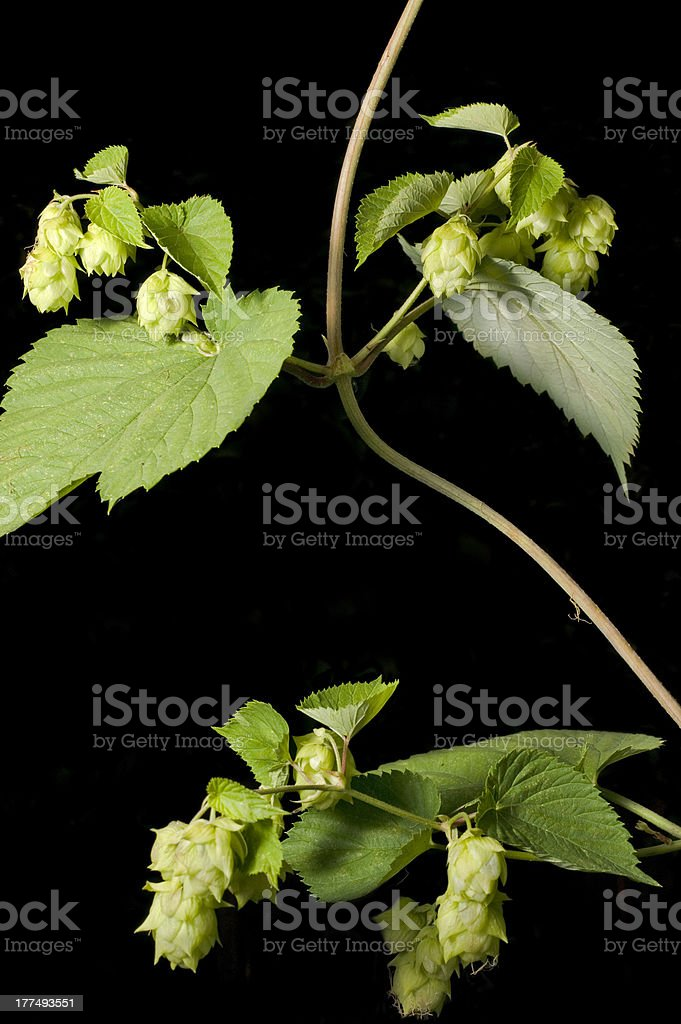 Hop vine with cones isolated on a black background. royalty-free stock photo