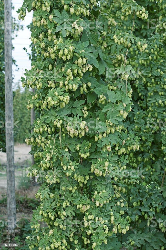 Hop vines during summer harvest season in Yakima Valley WA royalty-free stock photo