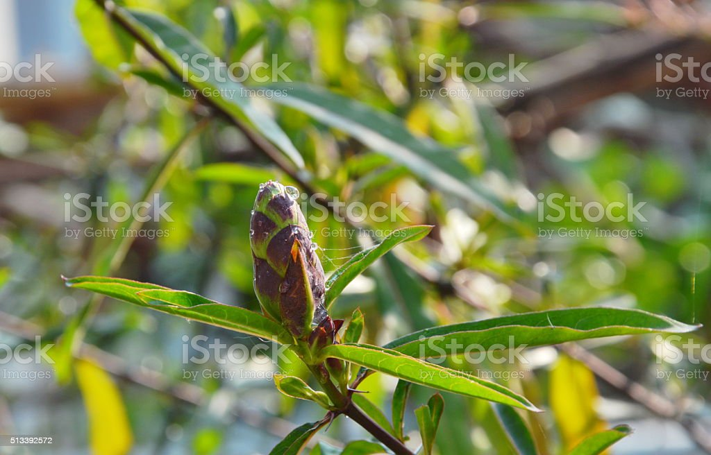 hop-headed barleria tropical herb in park stock photo