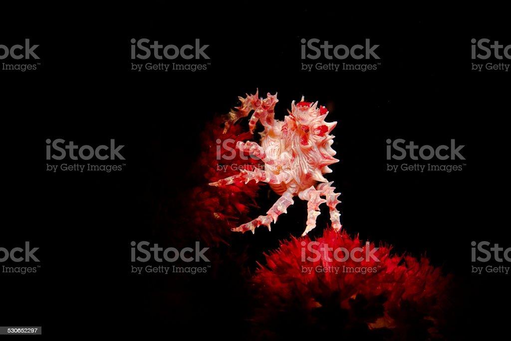 Hoplophrys oatesi stock photo