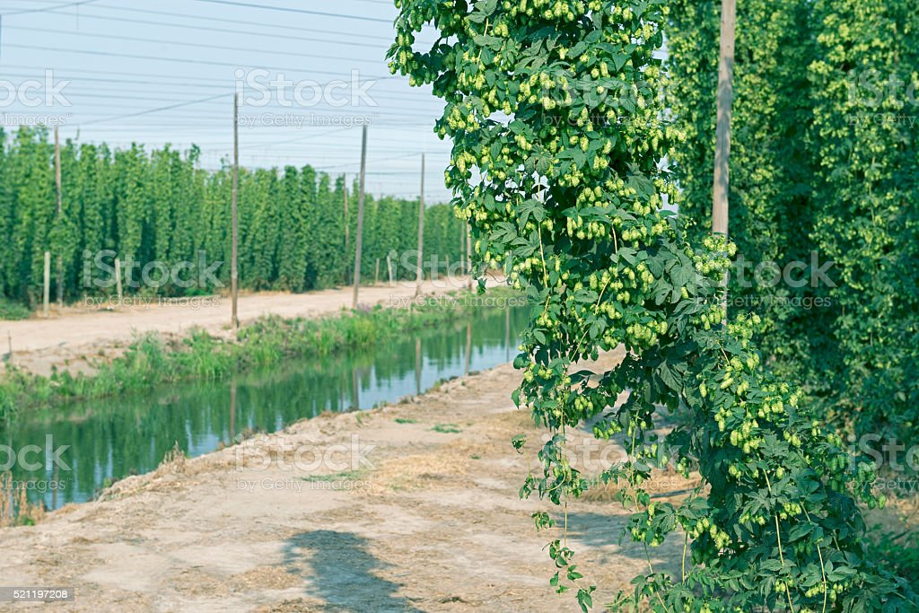 Hops field by agricultural canal in Yakima Valley WA stock photo