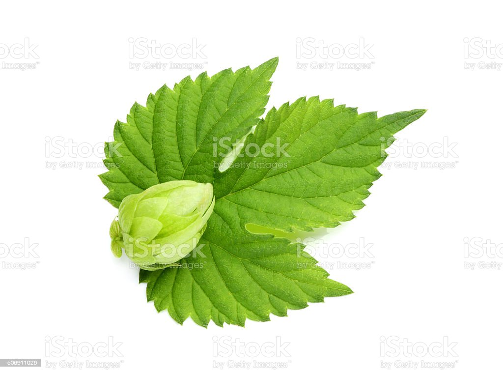 Hops flower on a leaf. stock photo