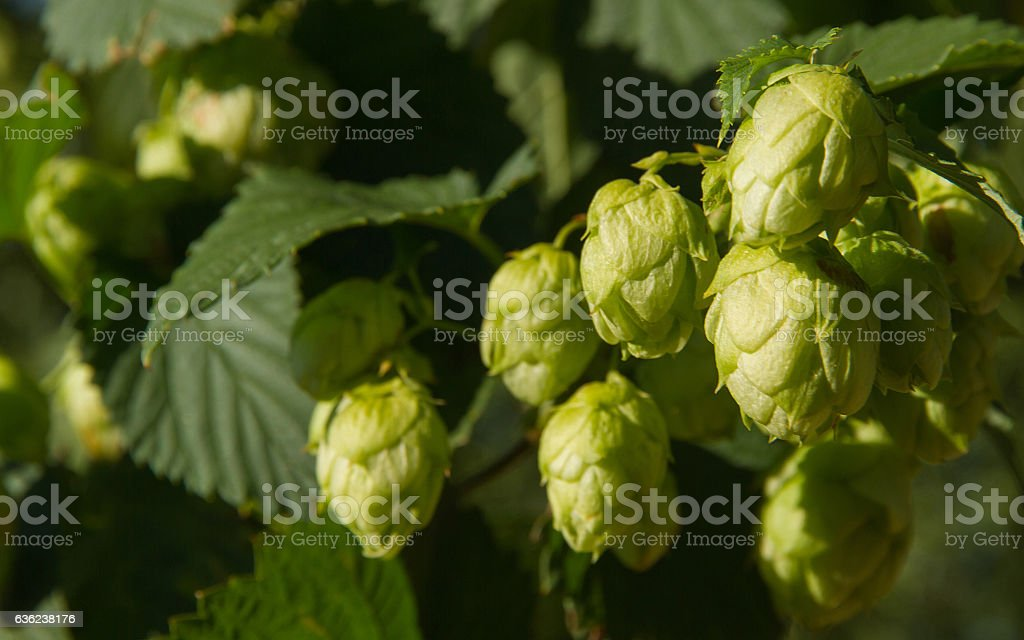 Hops Flowers Bud or at Plant -  Flores de Lupulo stock photo