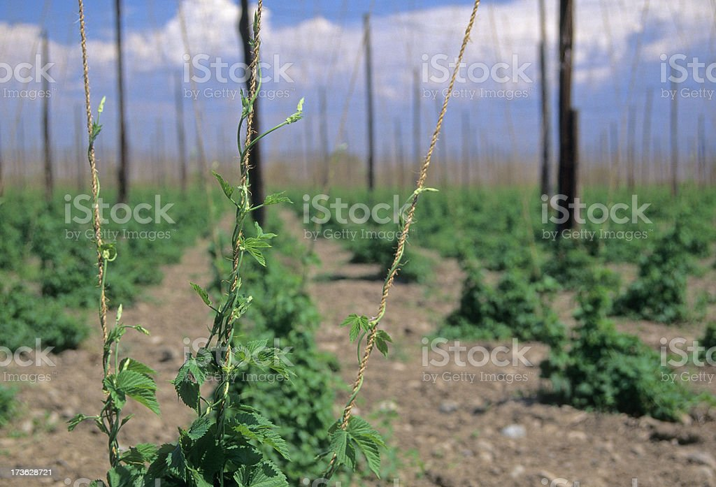 Hops growing in Washington state royalty-free stock photo