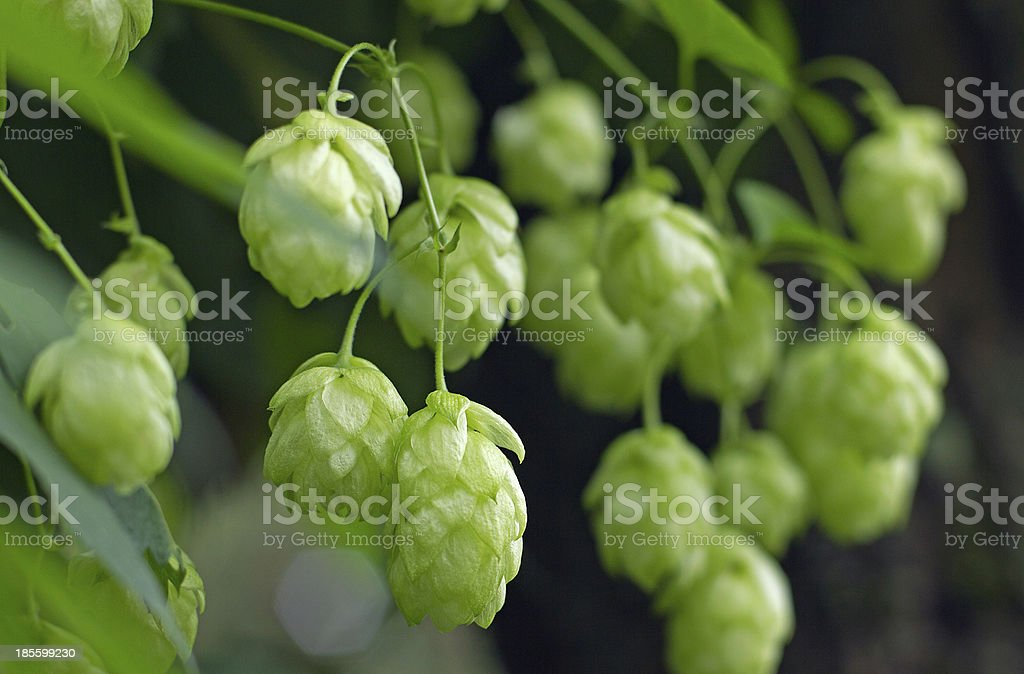 hops royalty-free stock photo