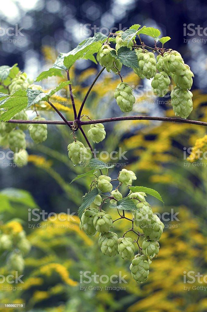 hops royalty-free stock photo