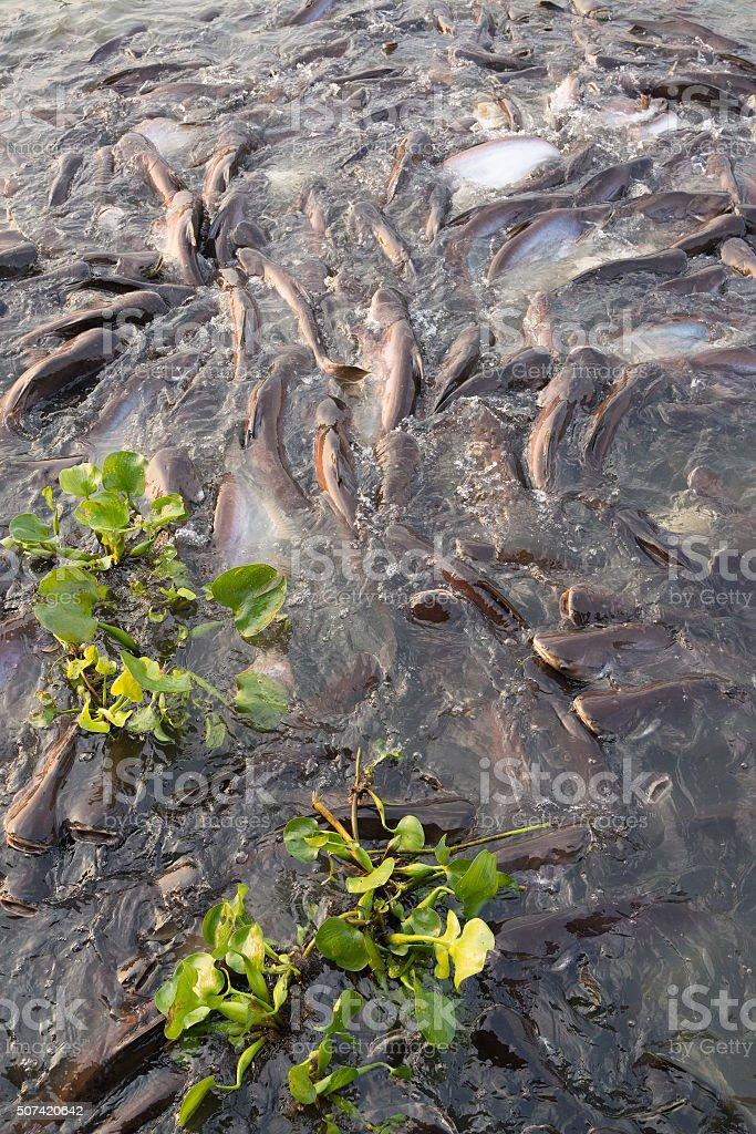Horde de poisson-chat rayé natation dans la rivière photo libre de droits