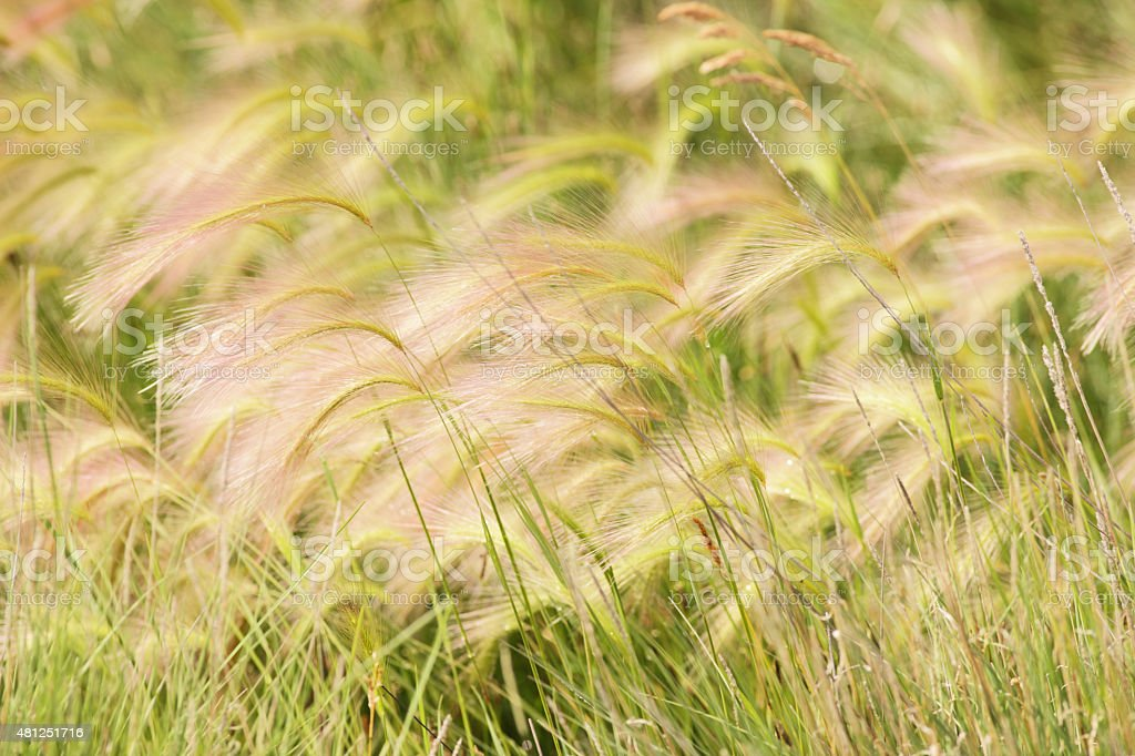 Hordeum jubatum Squirreltail Grass Tussocks stock photo