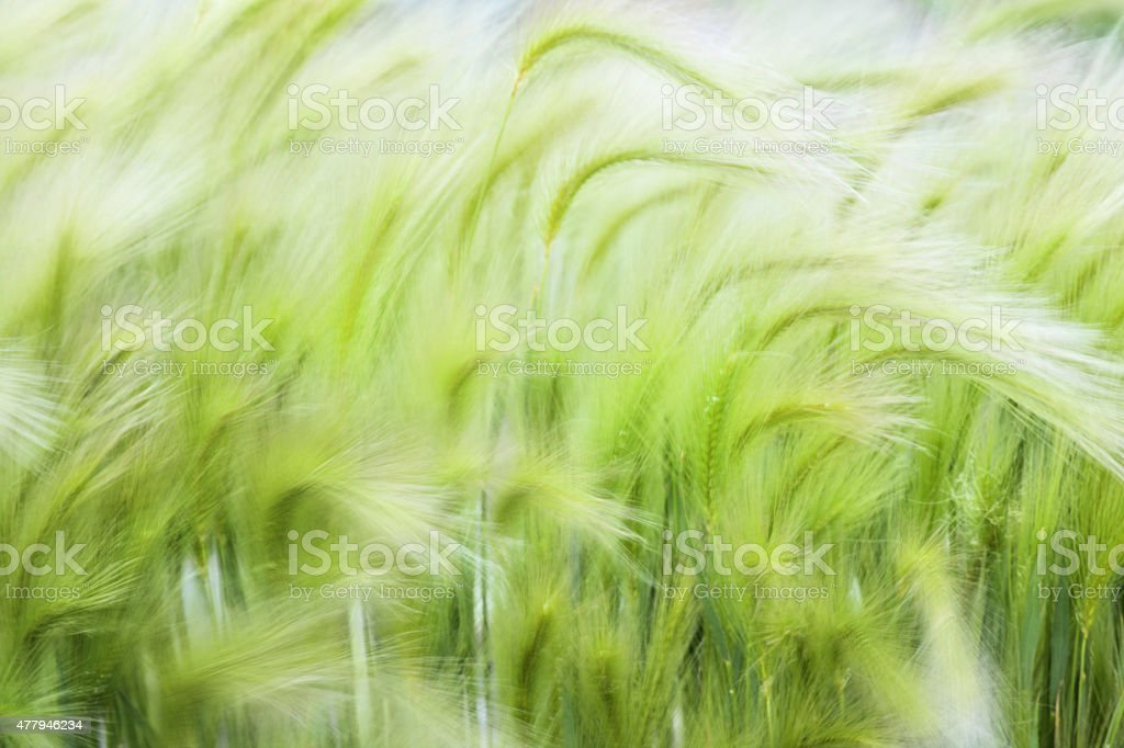 Hordeum jubatum Squirrel-tail Needlegrass stock photo