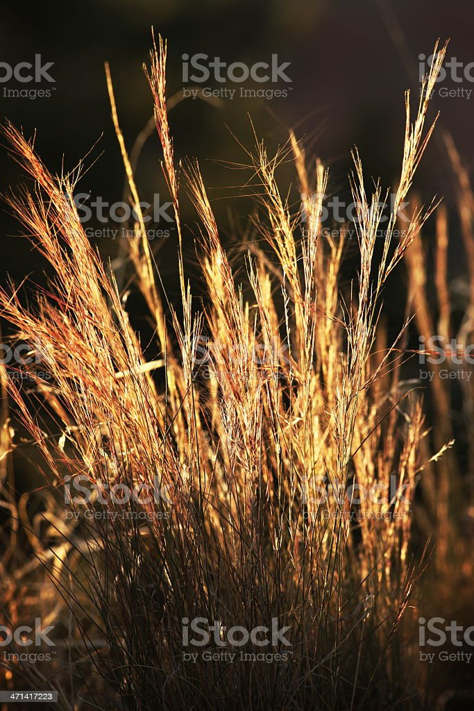 Hordeum murinum Foxtail Grass Silk stock photo
