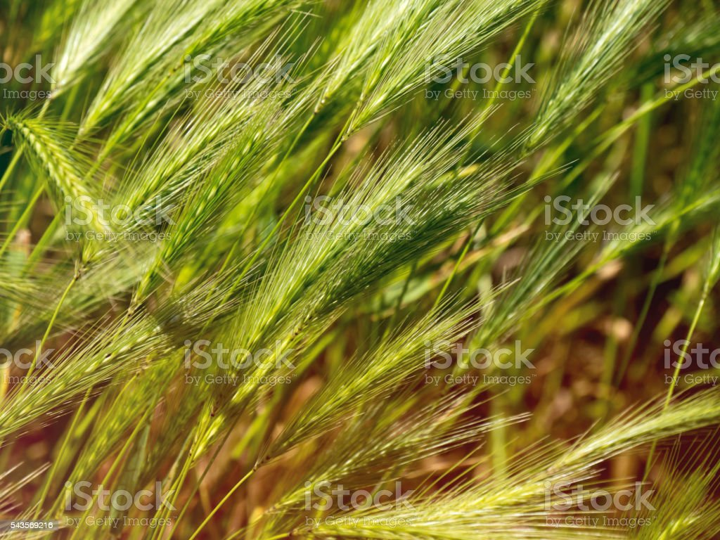 Hordeum murinum - wild grass stock photo