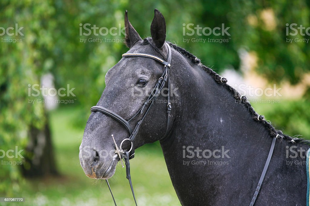 Horizontal head shot of a young lipizzaner horse stock photo